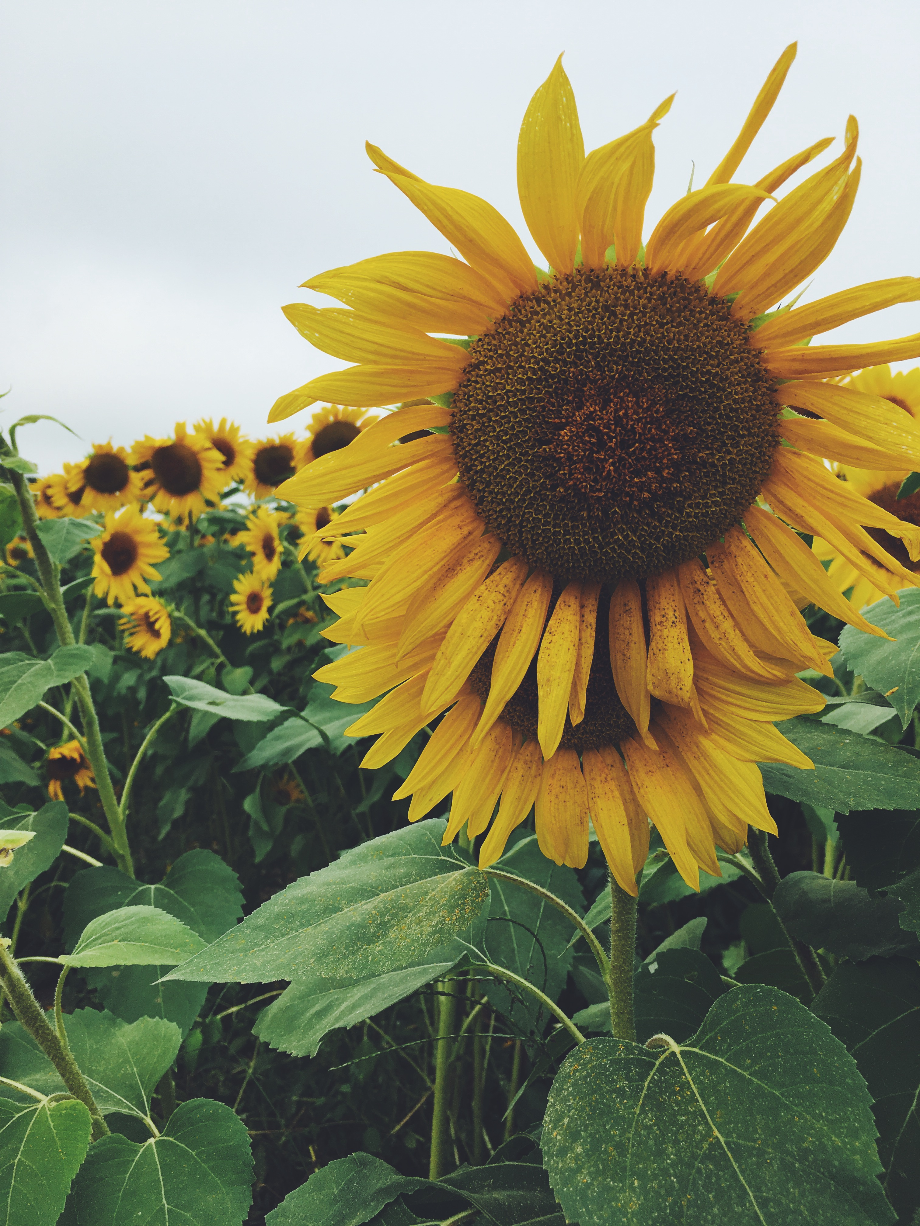 Colby Farm Sunflower Field with Marleylilly